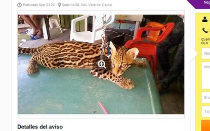 Indignación por un anuncio en OLX,  donde vendían un felino salvaje de dos meses.