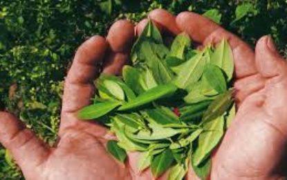 Cultivadores de coca en Calima Darién aceptaron abandonar esa práctica