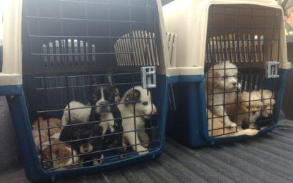 Por supuestos problemas de salud, mueren 14 cachorros incautados