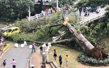 El Dagma explica caída de gigantesca Ceiba al oeste de Cali