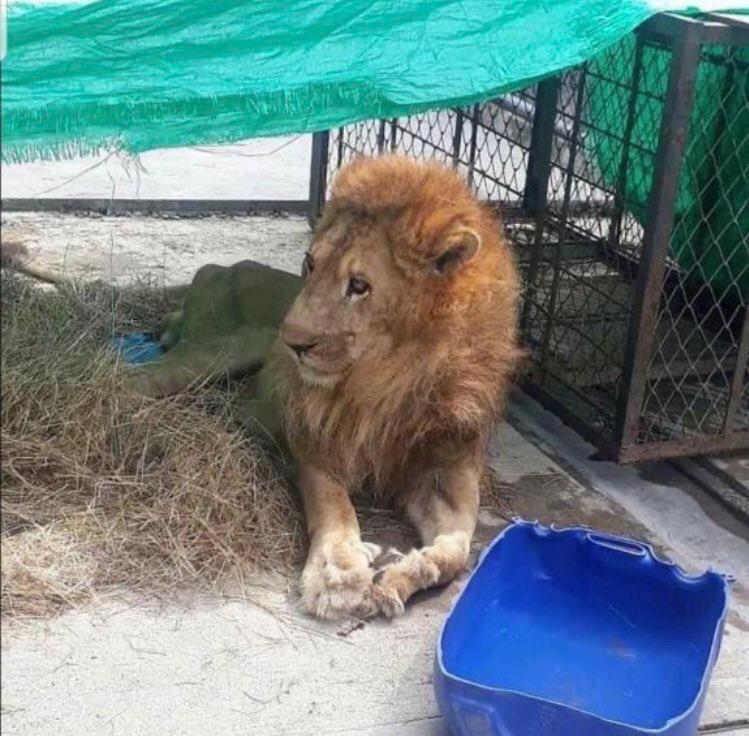 Falleció Júpiter el león más querido en Cali