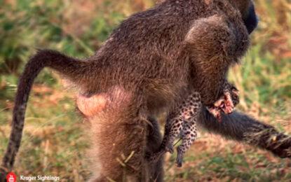 Video viral: Babuino es captado In Fraganti al momento de robar un cachorro leopardo